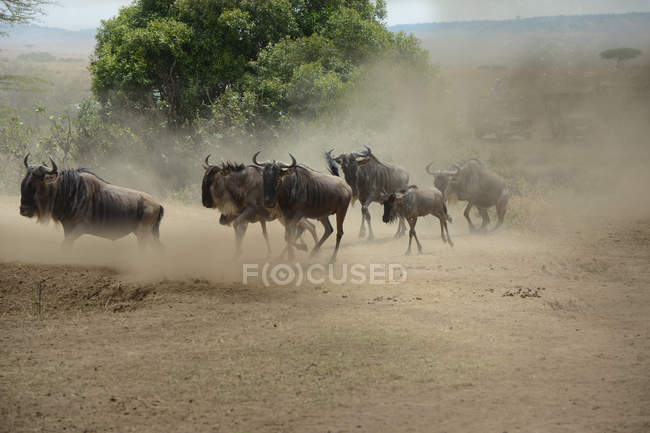 Стадо гну, бегущих по земле в заповеднике Масаи Мара — стоковое фото