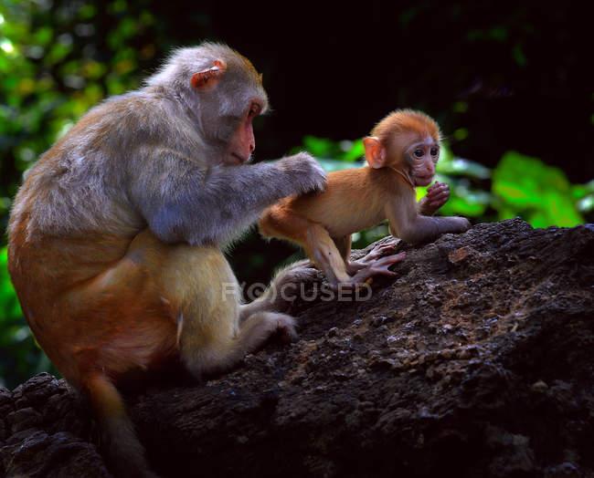 Крупный план двух очаровательных взрослых и обезьян в дикой природе — стоковое фото