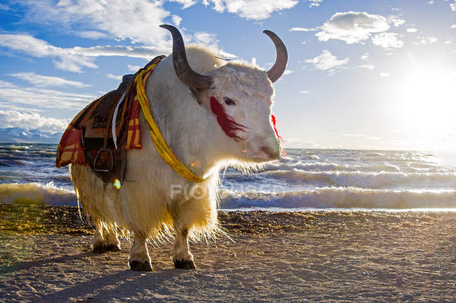 Amazing yak animal near body of water in the morning, Tibet — Stock Photo