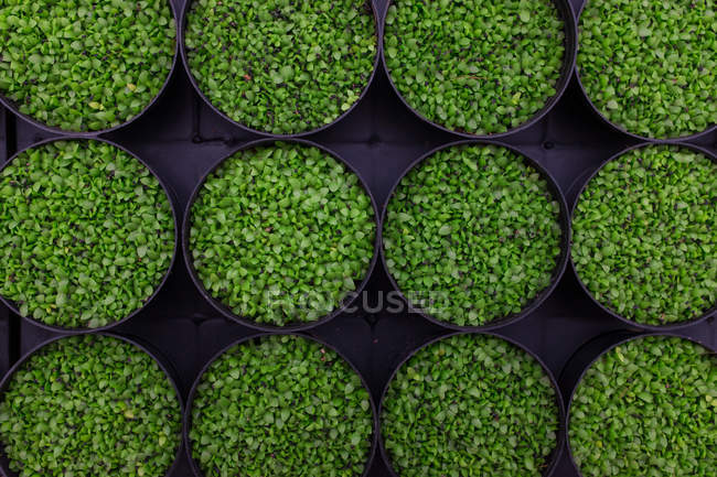 Top view of small green leafed plants in pots on black background — Stock Photo