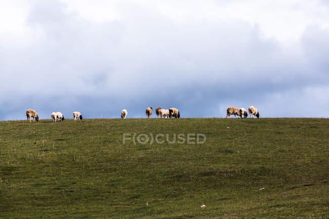 Schafherde weidet auf der grünen Wiese bei Xinjiang, China — Stockfoto