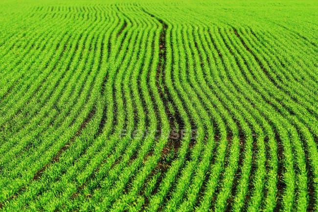 Vista quadro completo de plantas verdes frescas no campo — Fotografia de Stock