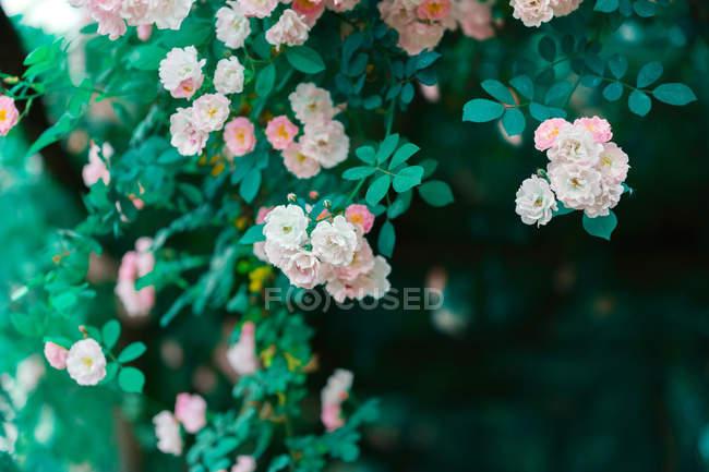 Vista ravvicinata di bei fiori rosa teneri che fioriscono sul cespuglio verde in giardino — Foto stock