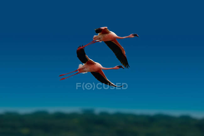 Beautiful pink flamingos in wildlife, Masai Mara National Reserve, Africa - foto de stock