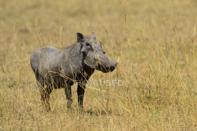 Warthog hunting in wildlife at savanna, africa — стокове фото