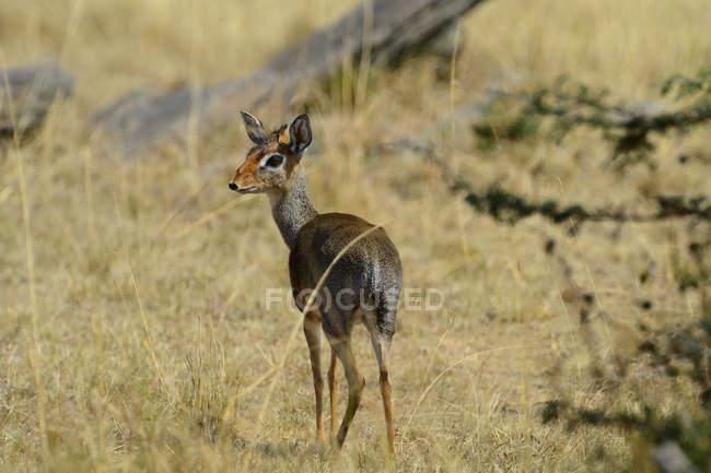 Cute dik-dik antelope on grassland at Masai Mara National Reserve — Stock Photo
