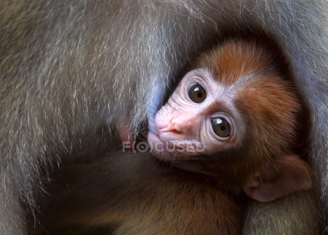 Close-up of two adorable adult and baby monkeys in wildlife — Stock Photo