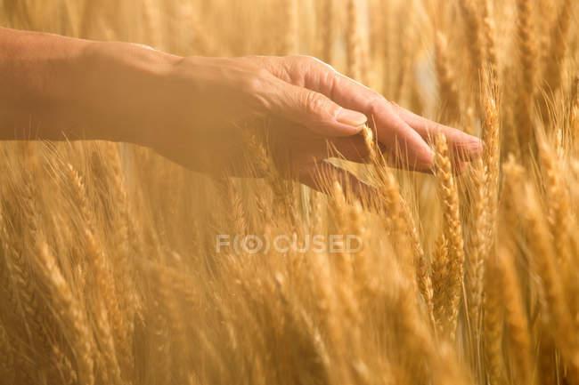 Частичный вид пожилых фермеров, касающихся спелых колосьев пшеницы в поле — стоковое фото