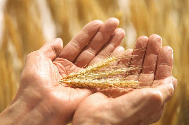 Colpo ritagliato di agricoltore anziano che alleva frumento maturo in campo — Foto stock