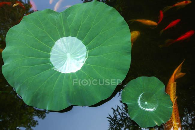 Vista dall'alto di foglie verdi e pesci rossi che nuotano in uno stagno calmo — Foto stock