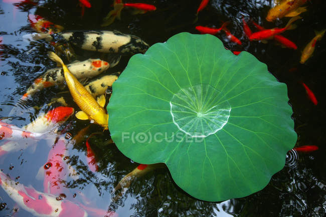 Tranquil scene with green water plant leaf and goldfish in pond — Stock Photo
