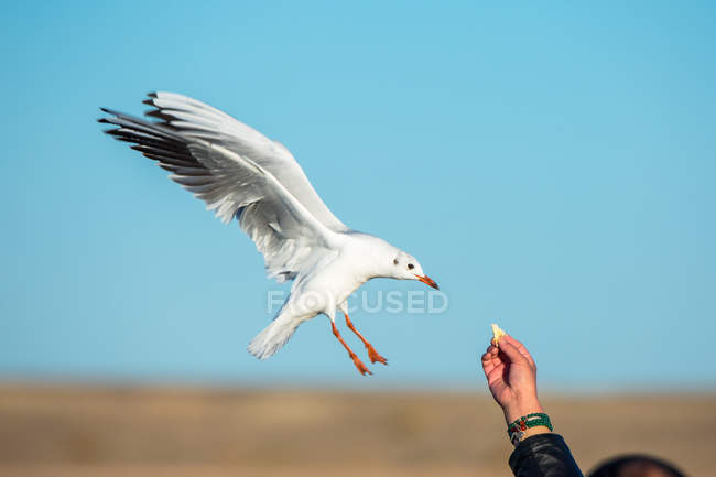 Cropped shot of person feeding seagull flying against blue sky — стокове фото