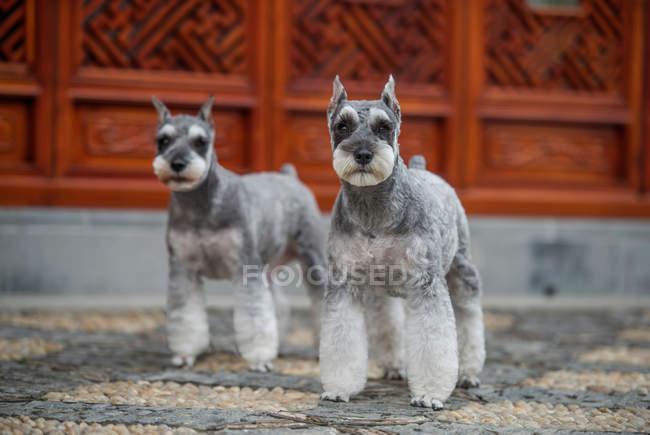 Vue rapprochée de deux beaux chiens gris moelleux regardant la caméra — Photo de stock