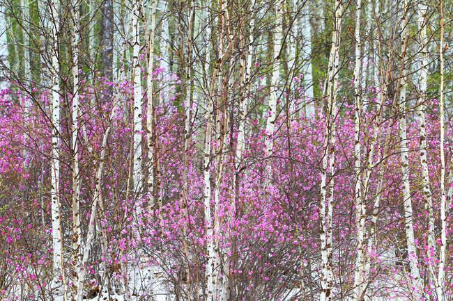 Cenário de primavera da cordilheira Grande Khingan, província de Heilongjiang, China — Fotografia de Stock