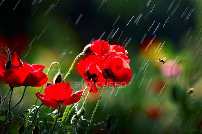 Vue rapprochée de belles fleurs de pavot rouge dans le jardin sous la pluie — Photo de stock