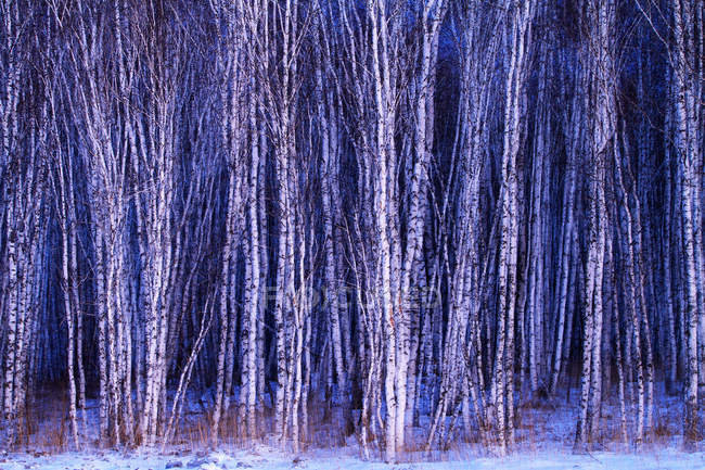 Beautiful winter birch forest at Heilongjiang province, Greater Khingan Range, China — Stock Photo