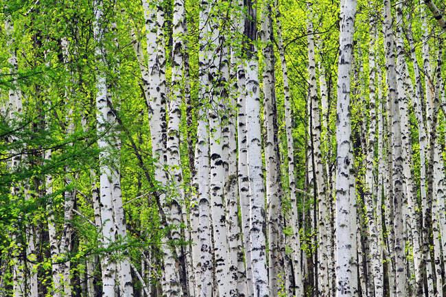 Spring scenery of Greater Khingan Range, Heilongjiang Province, China — Stock Photo