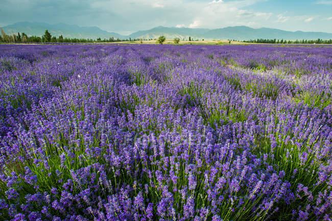 Лаванда з квітами і блакитним небом протягом дня. — стокове фото