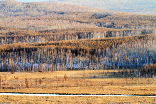 Belle forêt de bouleaux d'automne dans la province du Heilongjiang, Grand Khingan Range, Chine — Photo de stock