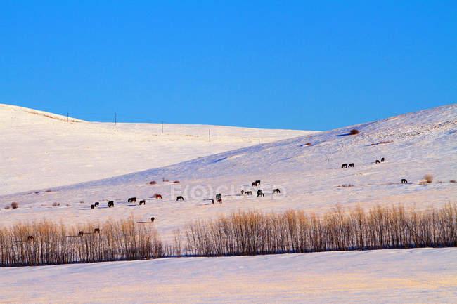 Scène d'hiver avec des animaux sur le pâturage dans Hulun Buir, Mongolie intérieure — Photo de stock