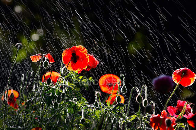 Close-up view of beautiful red poppy flowers in the garden under rain — Stock Photo