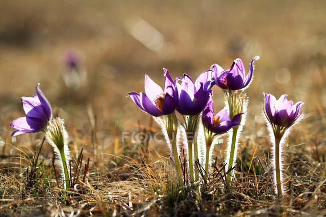 Vista close-up de belas flores pasqueflowers selvagens, Mongólia Interior, Hulun Buir — Fotografia de Stock