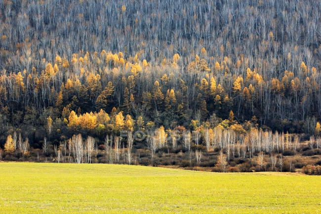 Bela floresta de bétula de inverno na província de Heilongjiang, Grande Cordilheira Khingan, China — Fotografia de Stock