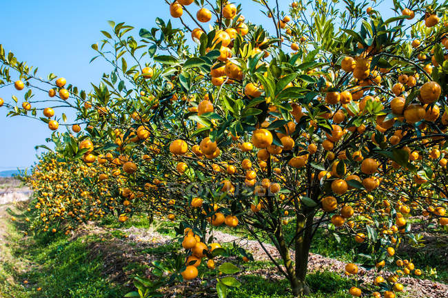 Ripe oranges and green leaves on trees on orchard at sunny day — Stock Photo