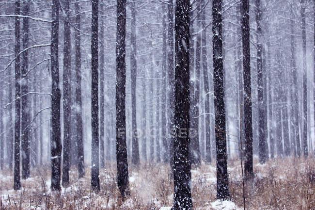 Winter in pine forest, Greater Khingan Range, China — Stock Photo