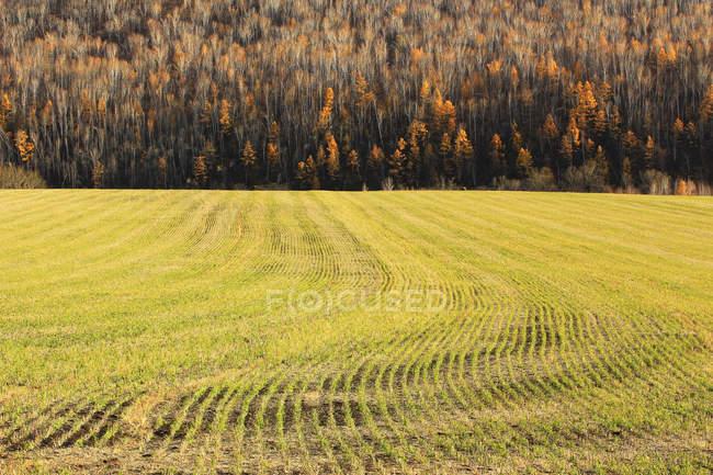 Красивый осенний березовый лес в провинции Хэйлунцзян, Большой Хинган, Китай — стоковое фото