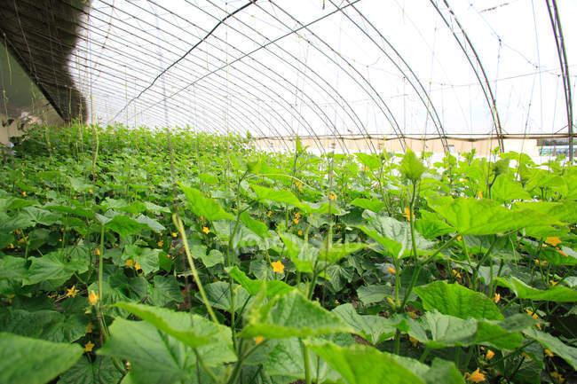 Piante verdi con fiori gialli in fiore che crescono in serra — Foto stock