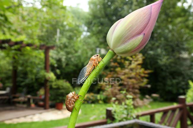 Крупним планом вид цигадас і красивий рожевий Лотос Брунька квітки — стокове фото