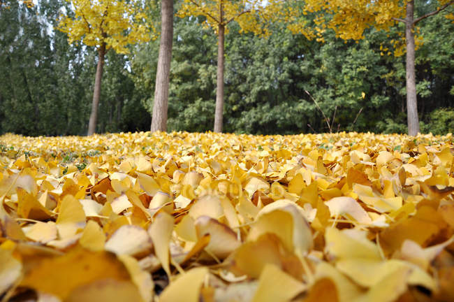 Close-up view of falling ginkgo leaves on ground in park, surface level — Stock Photo