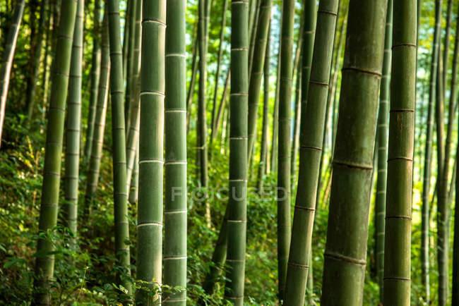 Красивые пейзажи в зеленом бамбуковом лесу, фарфоре — стоковое фото