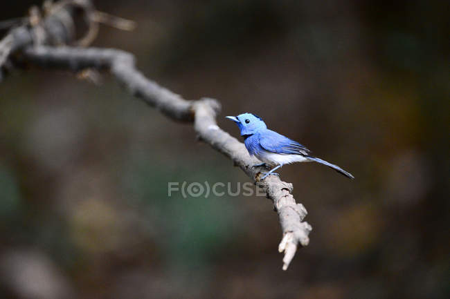 Vista cercana de la hermosa Flycatcher azul rojo asado perfumado en la rama de árbol. - foto de stock