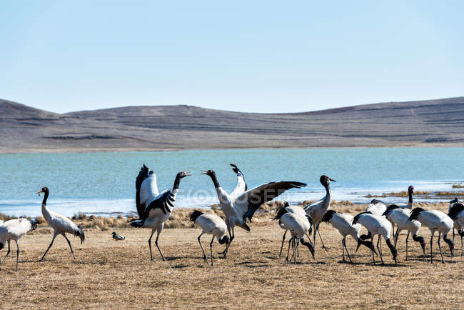Black necked cranes near lake at Yunnan province, Lake Nature Reserve, China — Stock Photo