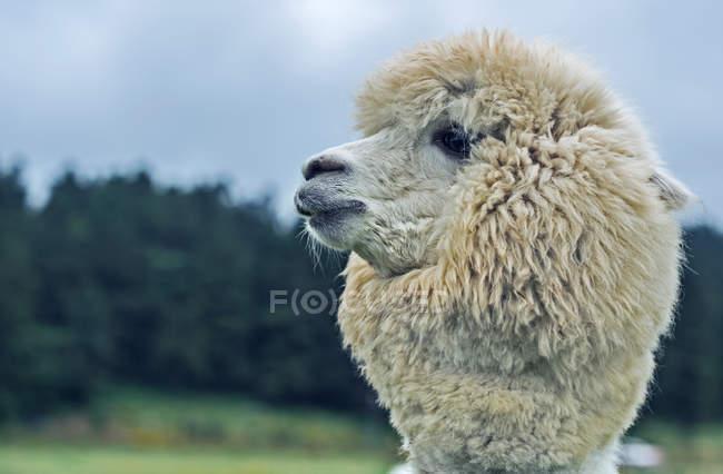 Vista ravvicinata di bellissimo bianco peloso Alpaca all'aperto — Foto stock