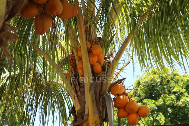 Vista de ángulo bajo de Cocos en el árbol - foto de stock