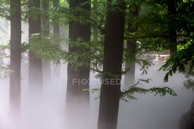 Amazing landscape with trees in mist, Cherry Valley in Beijing — Stock Photo