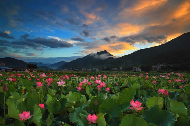 Красивые розовые цветы и живописные горы в Heze, Шаньдун, Китай — стоковое фото