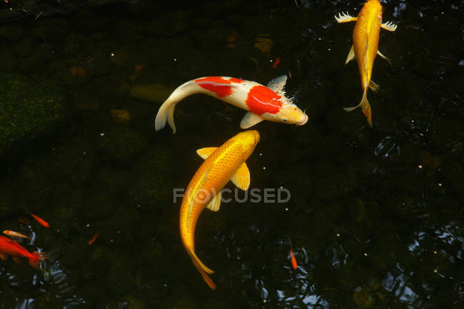 Opinião do close-up de carpas de Koi que nadam na lagoa calma — Fotografia de Stock