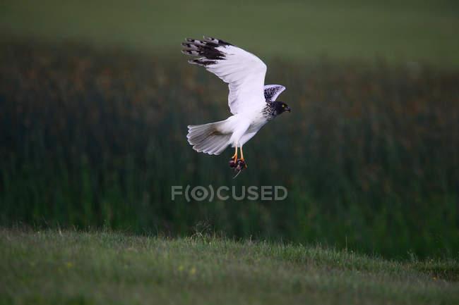 Bird catching mice above green grass on hill — Stock Photo