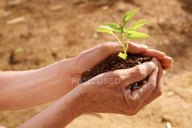 Tiro cortado de pessoa que mantém o solo com mudas verdes — Fotografia de Stock