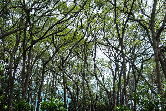Low angle view of green trees in beautiful camphor forest — стоковое фото