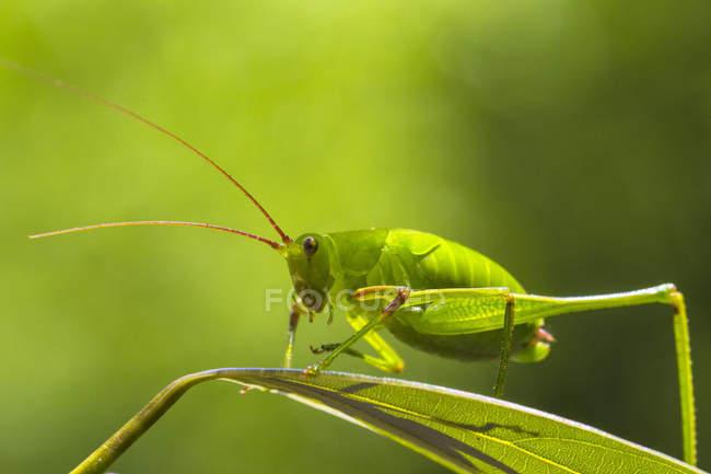 Vue de près de la belle sauterelle verte à longues cornes sur la feuille — Photo de stock