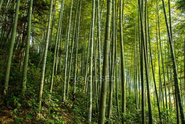 Beautiful scenery in green bamboo forest, china — Stock Photo