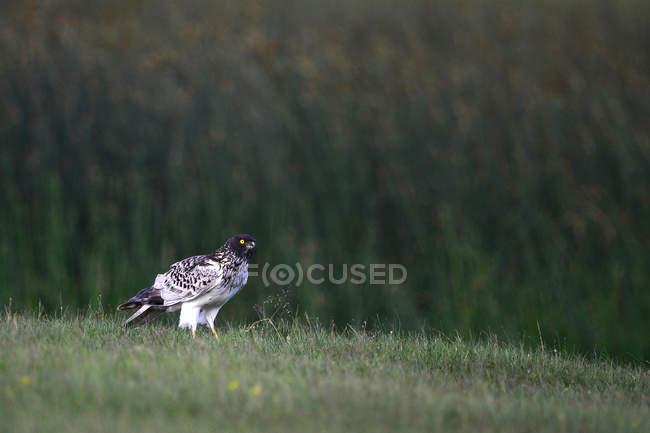 Vista lateral da majestosa águia selvagem na grama verde na vida selvagem — Fotografia de Stock