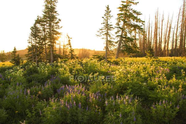 Красивые пастырские пейзажи с цветущие цветы и зеленый лес на восходе солнца — стоковое фото