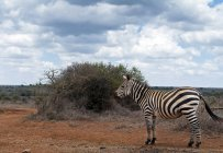 Side view of beautiful striped zebra standing on plain in savanna — Stock Photo