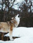 Único lobo salvaje majestuoso en la zona de nieve - foto de stock